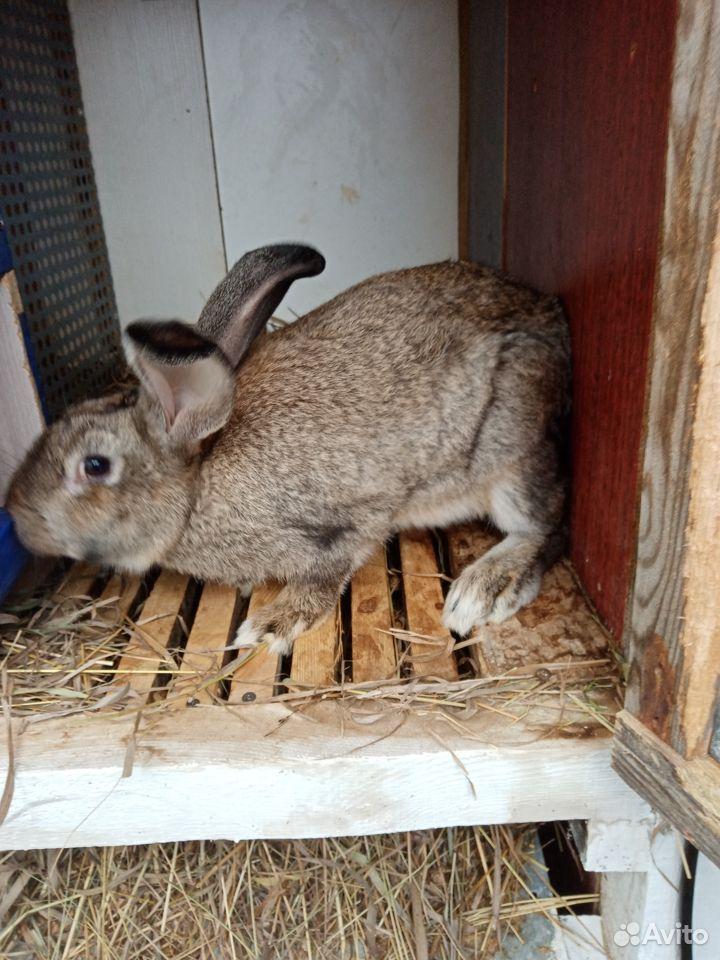 Продаются кролики  89058524280 купить 1