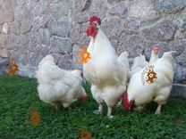 Семьи чистопородных кур