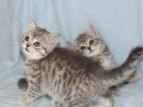 Прекрасные породистые котята с родословными