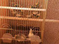 Попугай Корелла