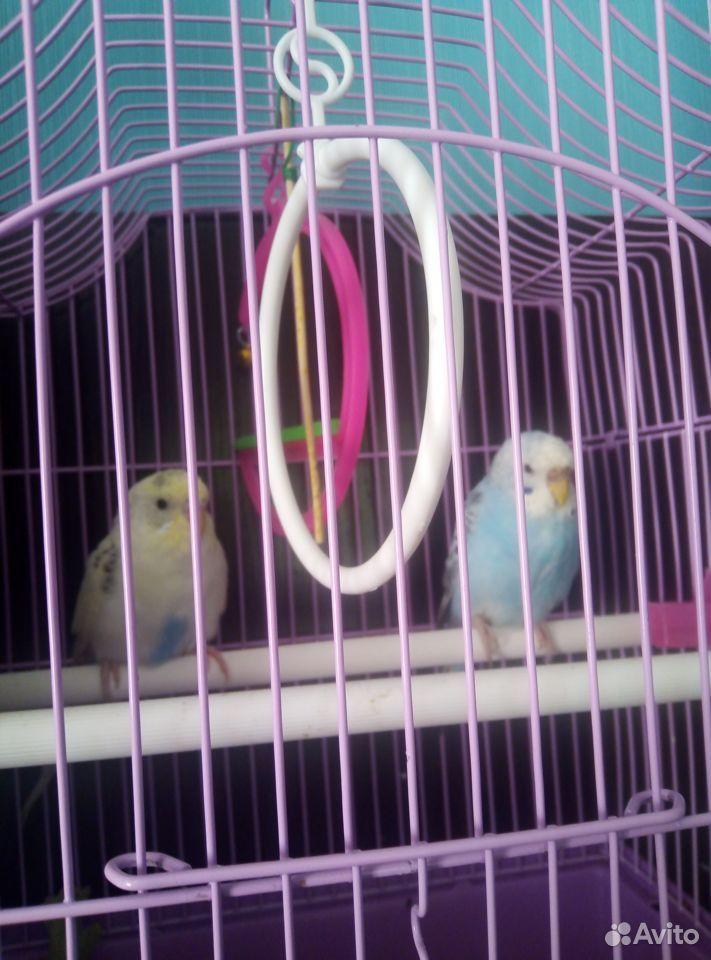 Попугаи птенцы мальчик и девочка с клеткой  89023112532 купить 3