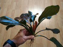 Эхинодорус Хади Красная жемчужина (Echinodorus Had