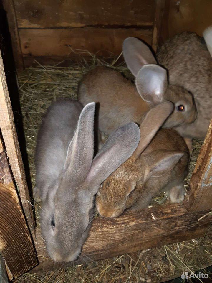 Кролики  89051057026 купить 5