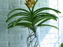 Цветы. Орхидеи. Ванды